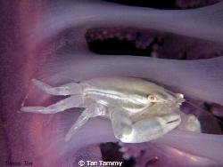 lonely white crab at purple sea pen..(canon G10 + 1pcs mi... by Tan Tammy