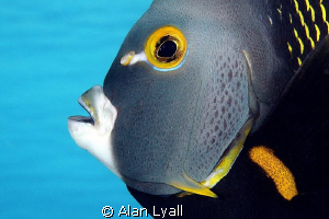 French Angelfish - full frame by Alan Lyall