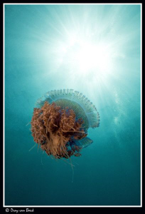 jellyfish 3 by Dray Van Beeck