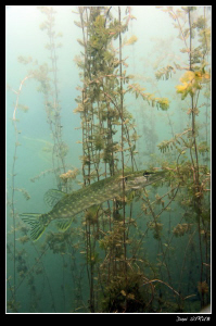 A joung pike triying to hide in the seagrass ... :-D by Daniel Strub