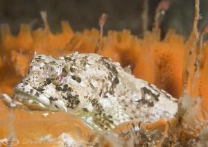 Long spined scorpion fish. Menai straits. D3, 105mm. by Derek Haslam
