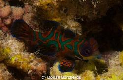 Female Mandarin Fish cropped.Used Nikon D300,60 mm Micro ... by Dorian Borcherds