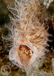 Yawning Hairy Frogfish.  Photo taken in Anilao, Canon G10... by Stephen Holinski