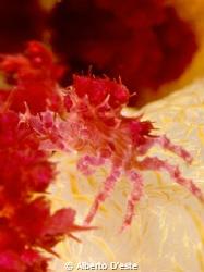 Anemone's crab by Alberto D'este