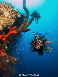 lionfish at the el mina wreck by Sven Ter Mul