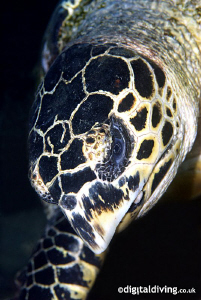 Portrait study of a Hawksbill Turtle. by David Henshaw