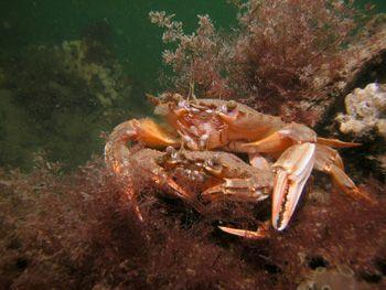 swimming crab   oosterschelde  nikon coolpix 5000 by Brocken Rudi