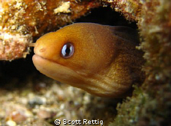 My little buddy, the dwarf moray.  Lanai Lookout, Oahu by Scott Rettig