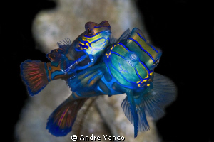 Mandarin Fish Mating... I have captured these beautiful c... by Andre Yanco