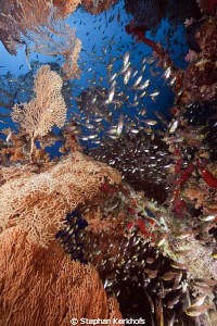 Seafan and glassfish taken at Ras-um-sid. by Stephan Kerkhofs