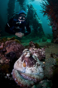 Diver approaches the local octopus under the Busselton Je... by Mick Tait