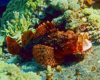 Scorpionfish on the deck of the Sankisan, Truk Lagoon by Eric Bancroft