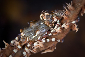 Xeno Crab.  Canon 20D 100mm Macro + 500D Diopter by Mick Tait
