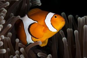 Anemone Fish at Tulamben Bali, Canon 20D 100mm Macro by Mick Tait