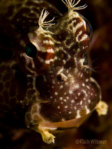 Happy!  This little blenny looks like he is having a grea... by Richard Witmer