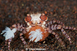 Boxer Crab with Eggs by Chris Holman