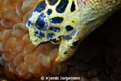 Hawksbill turtle eating buble coral at Palong dive site, ... by Kjersti Jorgensen