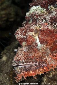 Smallscale scorpionfish portait taken with 180mm. by Stephan Kerkhofs
