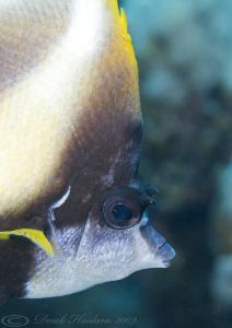 Red sea bannerfish. D3, 105mm. by Derek Haslam