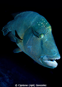 Napoleon wrasse at Brothers by Cipriano (ripli) Gonzalez