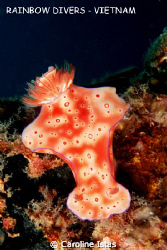 Nudibranch at Electric nose, Nha Trang, Vietnam by Caroline Istas
