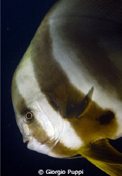 Platax (Bat-Fish) by Giorgio Puppi
