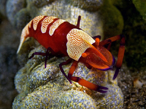Emperor Shrimp. Secret Bay, Bali by Doug Anderson