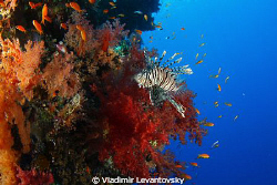 Lionfish and anthias (hunter and hunted). Taken with Cano... by Vladimir Levantovsky