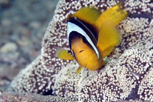 Clownfish taken with 180mm. by Stephan Kerkhofs