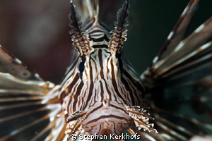 Close-up of a posing Lionfish taken with 180mm. by Stephan Kerkhofs
