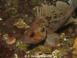 Juvenile Copper Rockfish take at Setchel Point on Vancouv... by J. Daniel Horovatin