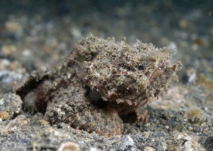 Raggy Scorpion fish. Lembeh straits. D200, 60mm. by Derek Haslam