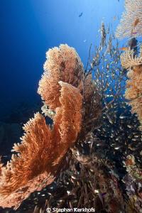 Seafan and glassfish taken in Ras-im-sid by Stephan Kerkhofs