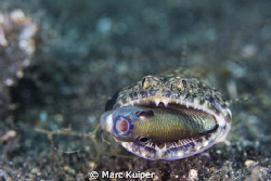 lizard fish trying to have dinner. taken in lembeh strait... by Marc Kuiper