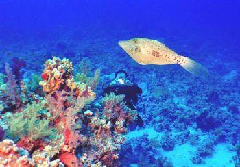 Filefish Top Model. Red Sea, Nikonos V by Nicolai Sosnowski