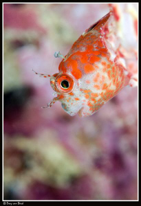 Blenny (3) by Dray Van Beeck