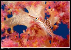Longnose hawkfish (2) by Dray Van Beeck