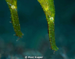 2 robust ghostpipefish taken in lembeh strait with canon ... by Marc Kuiper