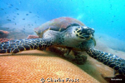 Huge Turtle at Koh Kroc an island just off Pattaya by Charlie Frost