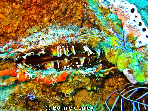North Atlantic Thorny Oyster seen in Freeport Bahamas May... by Bonnie Conley