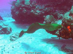 Free swimming moray eel by Cheri Denn