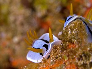 Nudibranchs. Menjangan Island, Bali by Doug Anderson