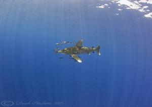 Oceanic whitetip shark. D3, 16mm. by Derek Haslam