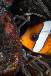 Anemonefish and Eggs that have eyes.  Tulamben Bali Canon... by Mick Tait
