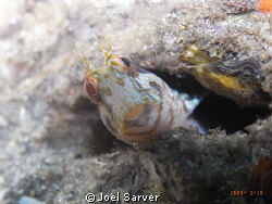Blenny in a Bottle by Joel Sarver