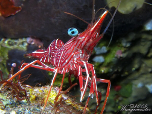 Durban Hinge-beak Shrimp (Rhynchocinetes durbanensis), Tu... by Marco Waagmeester