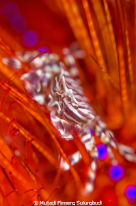 "This ""disco"" zebra crab's dancing on a red sea urchin. I ... by Muljadi Pinneng Sulungbudi"