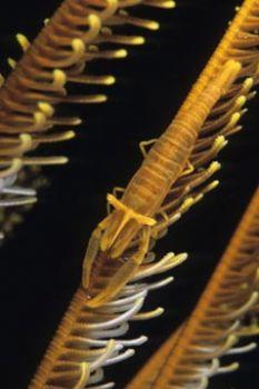 Crinoid shrimp, photo taken in Bunaken, Indonesia with a ... by Pablo Pianta