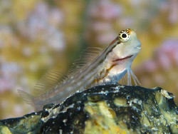 Blenny looking happy by James Dawson