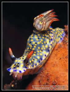 Kanga Hypselodoris (Hypselodoris kanga) - Tulamben, Bali ... by Marco Waagmeester